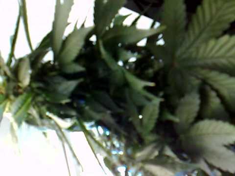 Easy Ryder  Auto AK47 x Lowryder 2  Aerogarden Cannabis Grow   YouTube. Aerogarden Cannabis Harvest. Home Design Ideas