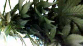 easy ryder auto ak47 x lowryder 2 aerogarden cannabis grow