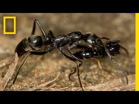 """Paramedic"" Ants Save the Wounded in Termite Wars 