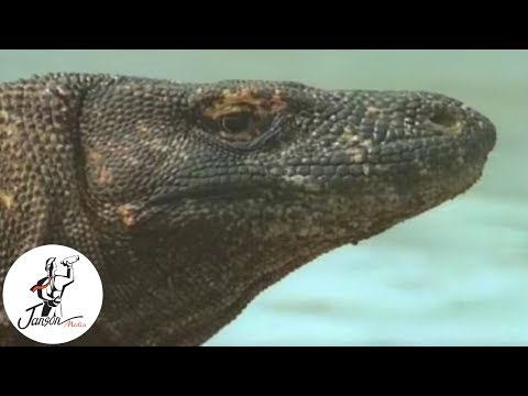 Jaws of Fire - The Komodo Dragon
