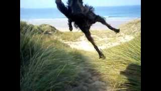 Hamish the Red Setter X Collie cross doing backflips on the beach!