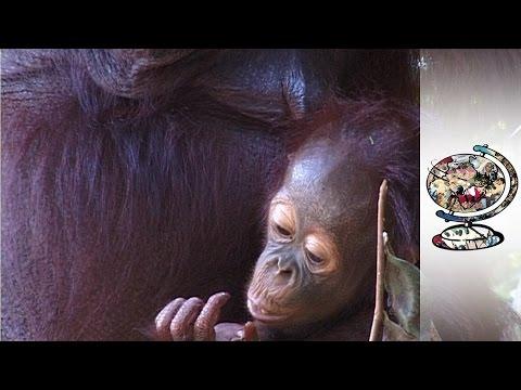Orangutans Are Too Close To Extinction