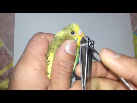 Muhabbet Kuşu Gagası Nasıl Kesilir