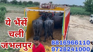 8816966110 Buffaloes going to …