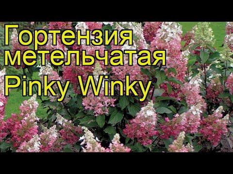 Гортензия метельчатая Pinky Winky. Краткий обзор, описание характеристик