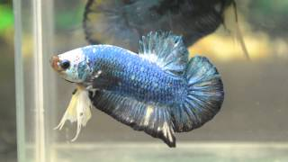 Paitune Betta DSC 031   Giant HMPK Male Aug 2 nd