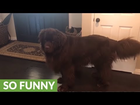 Game of peek-a-boo turns into chaos for giant Newfoundland