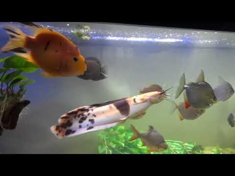 Monster Fish Tank - Arowana, Giraffe, Walking Catfish, Silver Dollars, Sharks, + More!