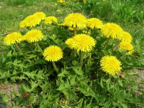 Hasil gambar untuk menanam bunga Dandelion