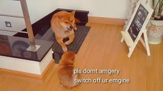 Insolent Potat = Amgery Daddo  - Shiba Inu puppies (with captions)