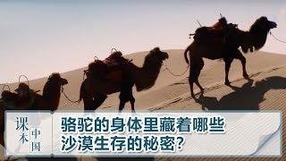 [跟着书本去旅行]骆驼的身体里藏着哪些沙漠生存的秘密?| 课本中国