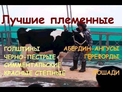 Лучшие племенные животные: коровы, быки, породы лошадей