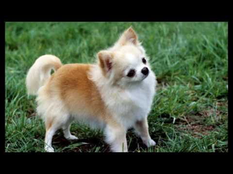 Chihuahua Dog Breed animals video