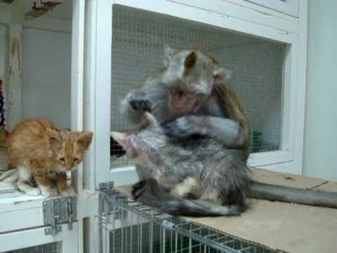 Monkey Grooms Kitten.MPG