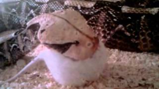 Габонская гадюка кушает крысу