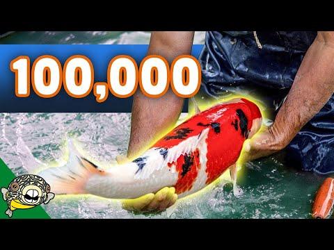 $100,000 Koi Fish Unboxing! Over 50 Boxes of Koi! Beautiful Big Koi.