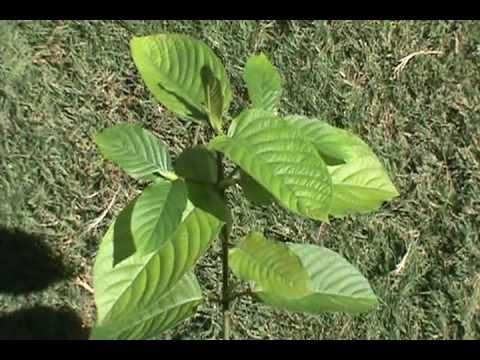 Mitragyna speciosa Tree For Sale