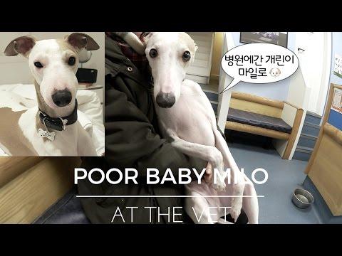 병원에간 개린이 마일로 🐶 Poor baby Milo at the vet