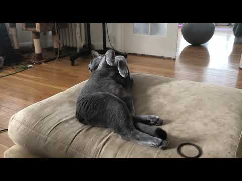 Russian Blue Lena is adorable (ロシアの青猫)
