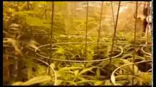 Intro to How to grow cannabis in coco. Week 2 bloo