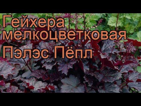 Гейхера мелкоцветковая Пэлэс Пёпл 🌿 обзор: как сажать, саженцы гейхеры Пэлэс Пёпл