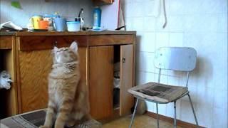 Фильм про котенка Феньку (порода мейн-кун)