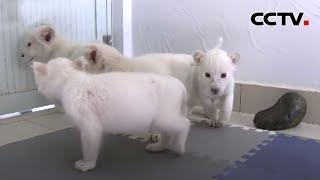 江苏南通:白狮四胞胎满月 首次洗澡萌味十足 |《中国新闻》CCTV中文国际 - YouTube