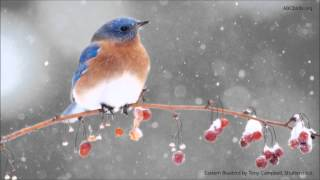 Eastern Bluebird Song