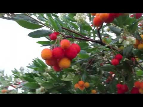 Strawberry Trees Loaded with Fruit