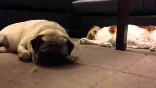 Pug Cavalier Snoring, Synchronized