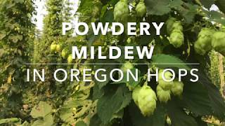 Powdery Mildew in Oregon Hops - Stafaband