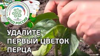 Как формировать перец. Прищипываем первый цветок, удаляем боковые побеги.(Смотрите практический видео-совет специалиста-агронома о том, как правильно формировать растения перца..., 2015-05-20T13:38:36.000Z)