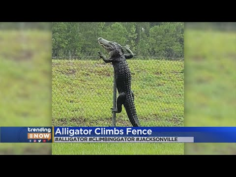 Tanner and Drew - Alligator Climbs Fence In Florida
