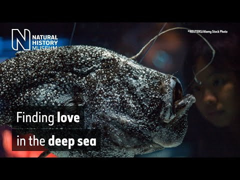 The Bizarre Love Life Of The Anglerfish | Natural History Museum