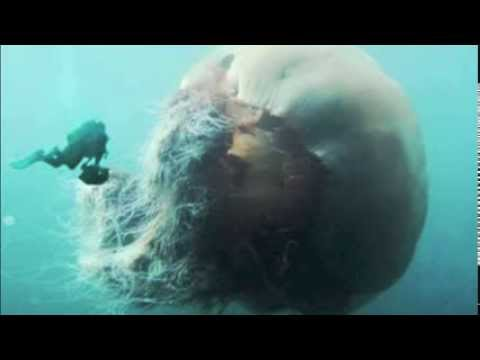 Australian giant jellyfish - photo#5