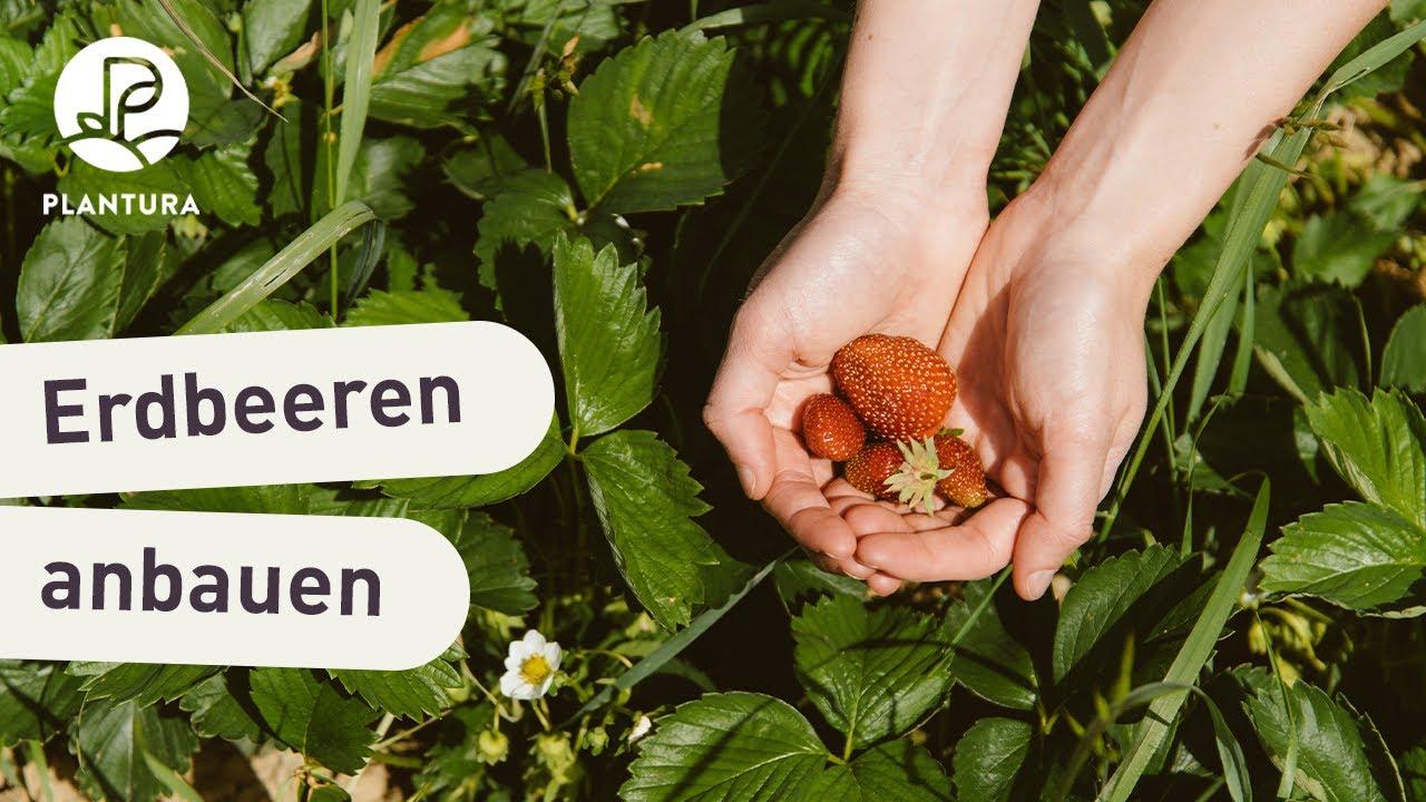 Erdbeeren Anbauen Richtiger Standort Geeignete Erde Youtube
