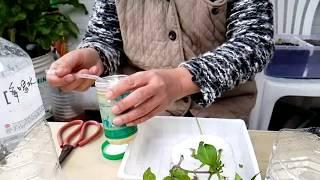 (阿美美)植物扦插繁殖Plant cuttings 蕃茄 九層塔 矮牽牛花 天使花 thumbnail