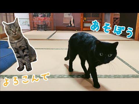 不器用なりに「遊ぼう」って言えるようになってきた猫 I want to play with you