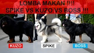 SPIKE VS KUZO VS BOSS ( ANJING TERBESAR DI DUNIA LOMBA MAKAN ) - BIG DOG EATING COMPETITION