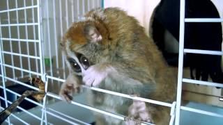 Лемуры самые милые животные в мире!, видео приколы самые смешные животные