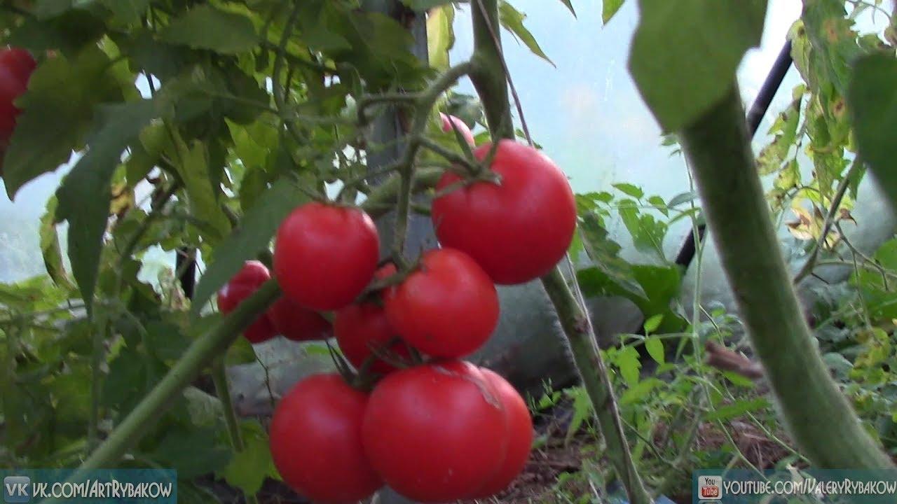 Высокоурожайное выращивание томатов обучающий курс