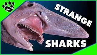 Shark Week: 8 Strangest Shark Species In The World 2018 -animal Facts