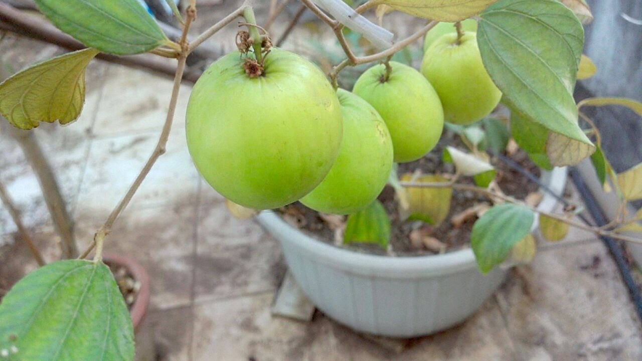 How To Grow Jujube Fruit Or Le Ber Tree Easily In Container On Terrace