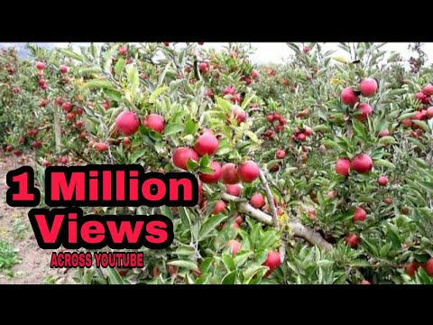 Real Kashmir Apple garden 2017 - YouTube