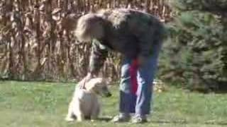 White Lab Male Puppy - Leash And Command Training Session