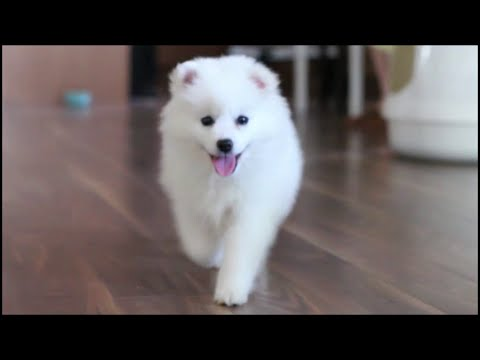 Cute American Eskimo Puppy's First Days At Home