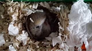 Домашний бурундук: спячка