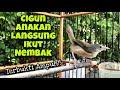 Masteran Ciblek Gunung Belajar Bunyi Ampuh Untuk Pancingan Anakan Cigun Agar Cepat Ngeriwik Ngebren  Mp3 - Mp4 Download