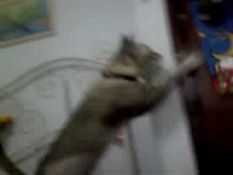 funny singapura cat