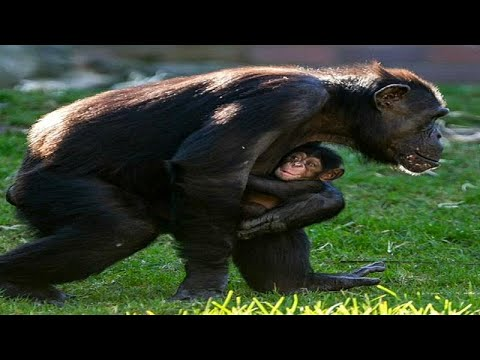 مولود جديد ينضم إلى حديقة -تارونغا- في سيدني باليوم العالمي للشمبانزي…  - نشر قبل 32 دقيقة